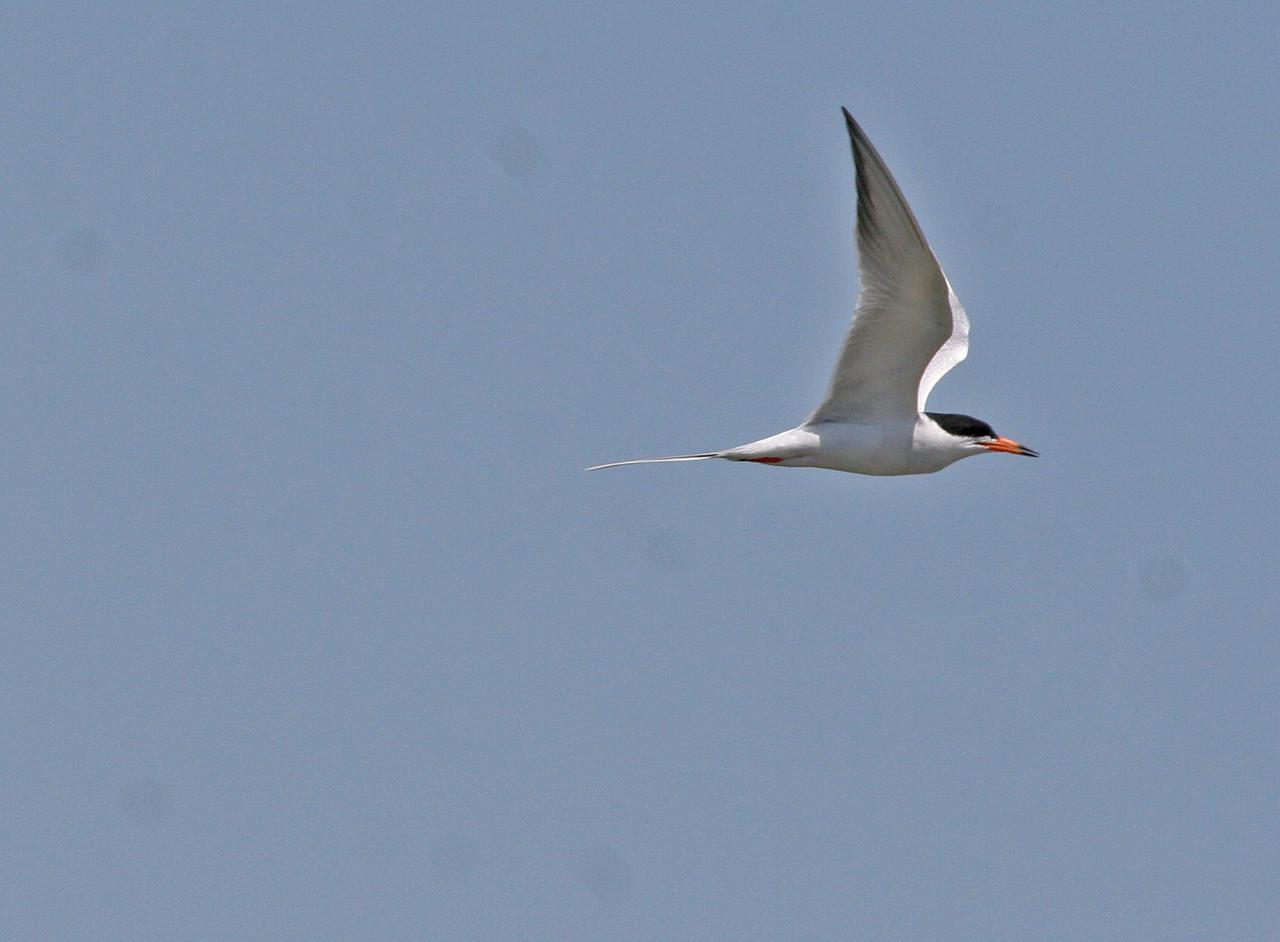 Caspian Tern - Leonbelle Birding Center