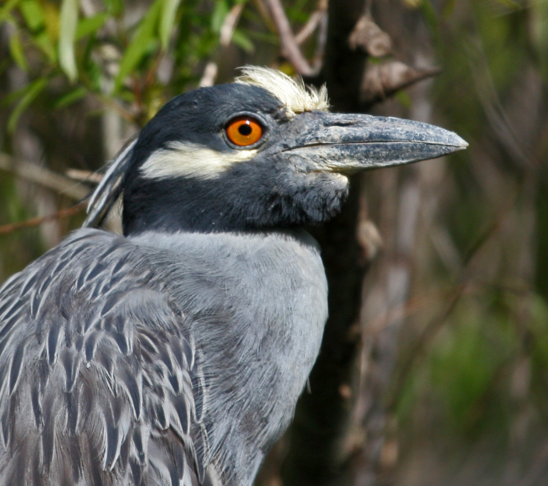 Yellow-crowned Night-heron - There were at least six yellow-crowns at Paradise Pond. The long plumes on the back of the head indicate breeding. Note white cheek patch, orange eyes and white-yellowish crown or forehead.