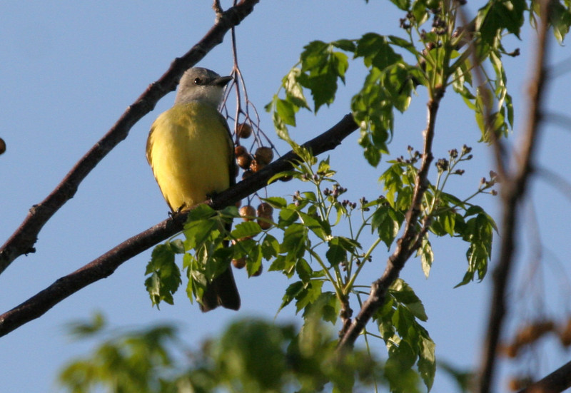 Couch's Kingbird - Leonbelle Birding Center