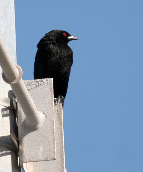 Bronzed Cowbird - UT Port Aransas .  During our restroom break Nan spotted this Bronzed Cowbird up on a light fixture. Note the red eye and neck ruff which fluff out during breeding. If you look real hard you can see the bronze-greenish on the head.
