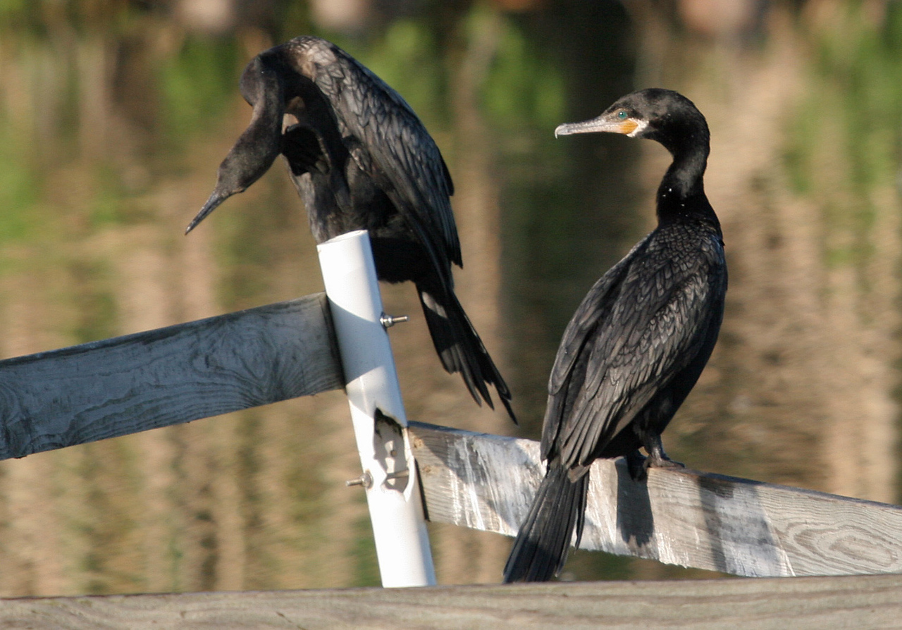 Neotropic Cormorant - Leonabelle Turnbull Birding Center