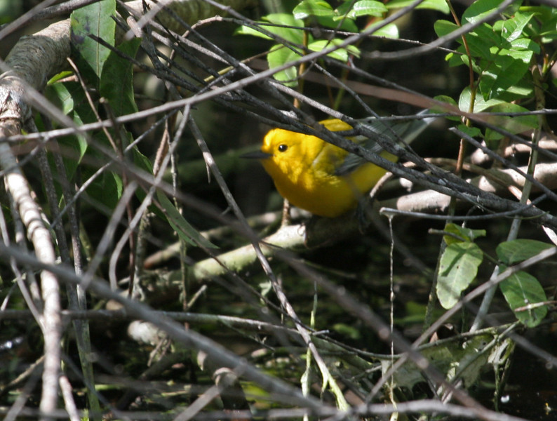 Prothonotary Warbler - Seen at Pardise Pond, he showed himself several times, but always hidden and low in the understory. A lifer for Karen!