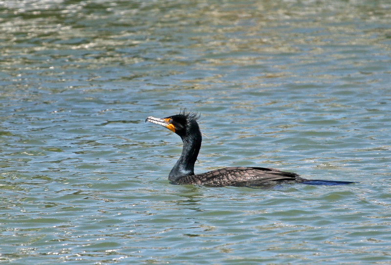 Double-crested Cormorant - First time I've been able to see the curled feathered crest on this very common bird. Nice view of the orange-yellow gular patch.