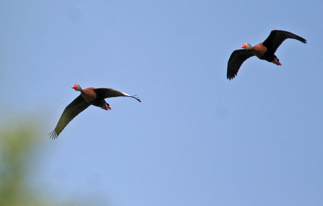 Black-bellied Whistling Duck - Paradise Point