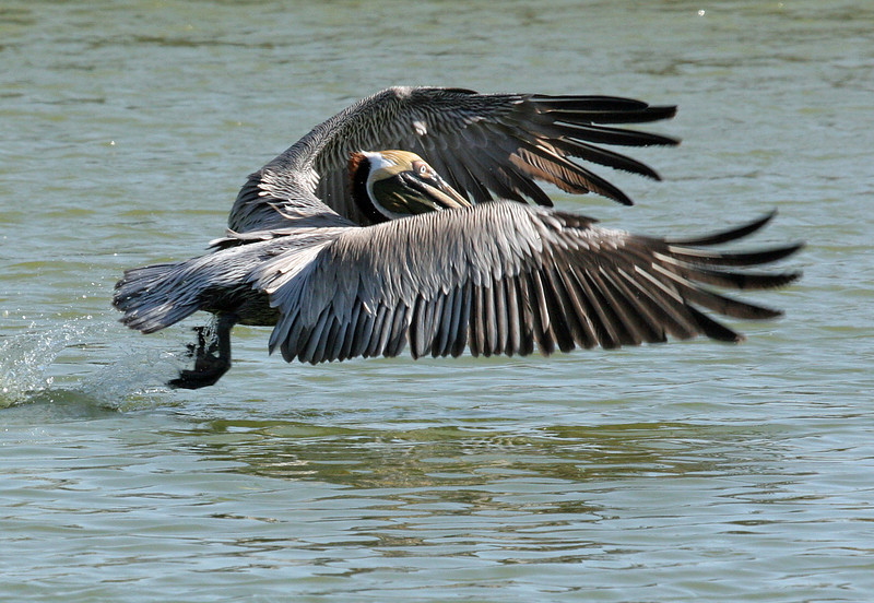 Brown Pelican - Paradise Point