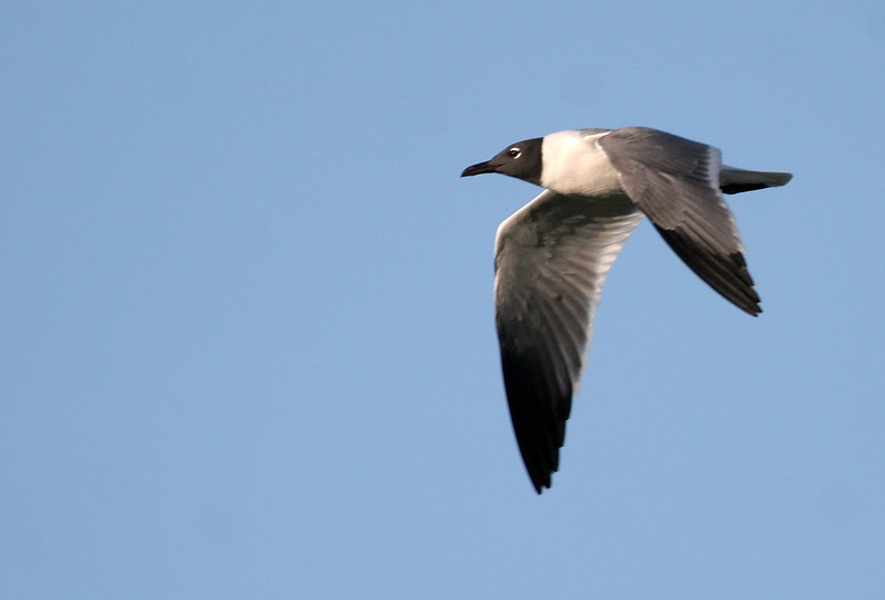 Laughing Gull - Paradise Point