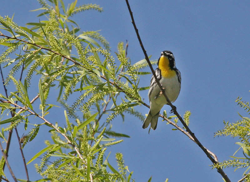 Yellow-throated Warbler - Paradise Pond