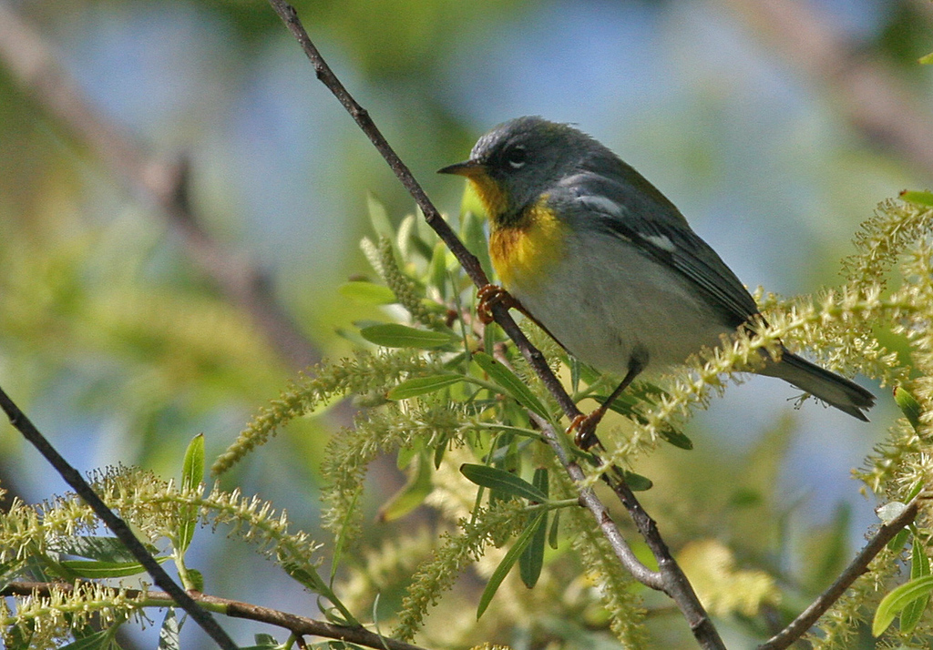 Northern Parula - Paradise Pond