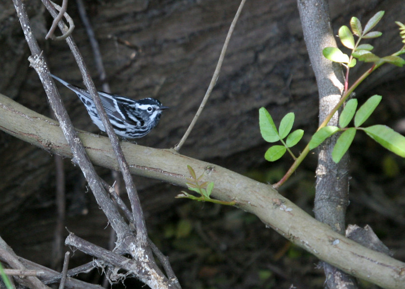 Black-and-white Warbler - Paradise Pond