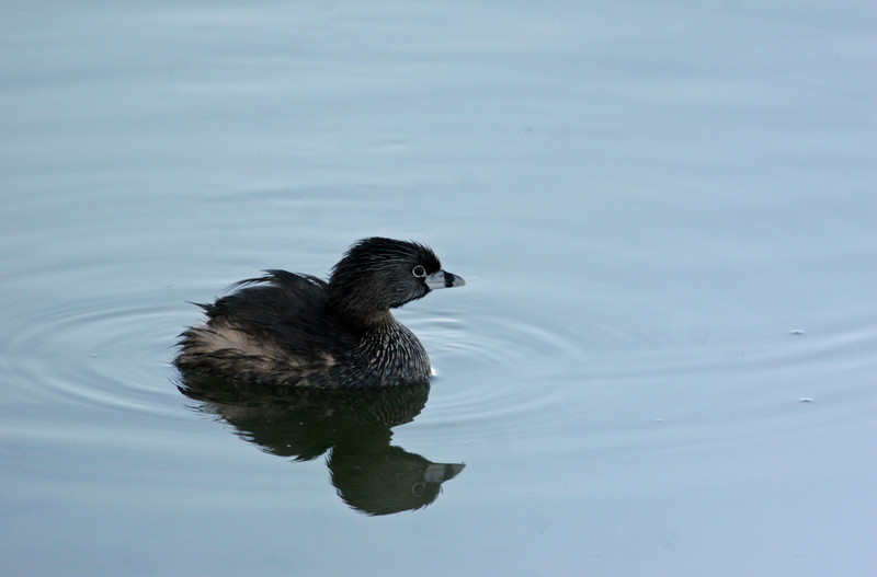 Pied-billed Grebe - Leonabelle Birding Center