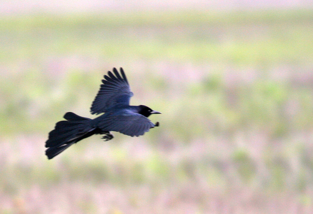 Great-tailed Grackle - Paradise Point