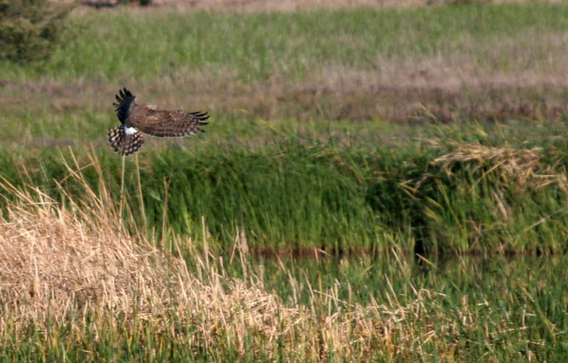 Northern Harrier - Leonabelle Turnbull Birding Center.