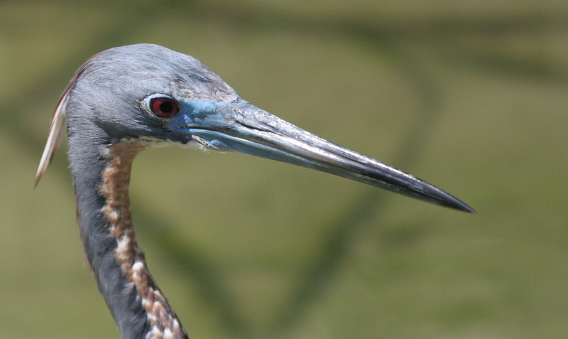 Tri-colored Heron - Paradise Point
