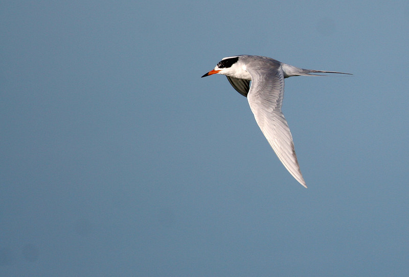 Forester's Tern - Paradise Point