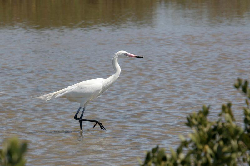 Reddish Egret (White Morph) - Paradise Pond