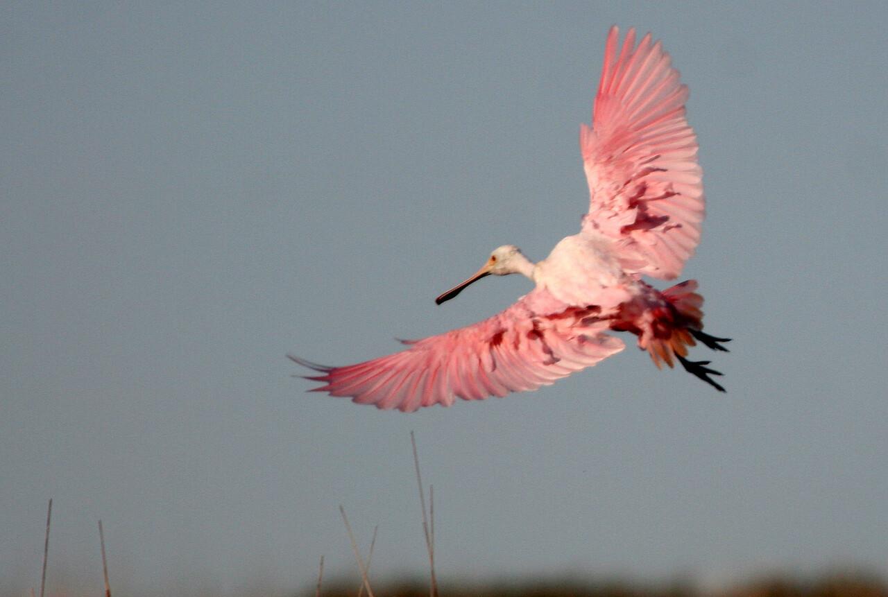 Roseate Spoonbill - Leonabelle Turnbull Birding Center