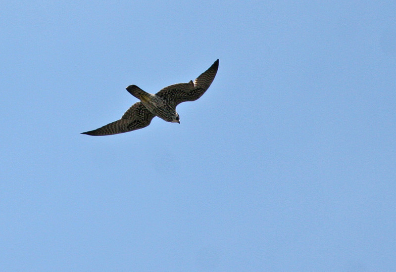 Peregine Falcon - Charlie's Pasture. This peregrine flew over us during our walk in Charlie's Pasture. He appeared to have some flight feathers missing on one wing, but it didn't seemed to affect his flying.  For a short moment he appeared like he was going to dive, but didn't and wandered off.