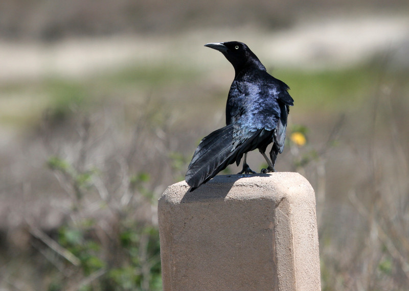 Great-tailed Grackle - We saw many of these birds in the area. Note yellow eyes and flat-topped appearance.
