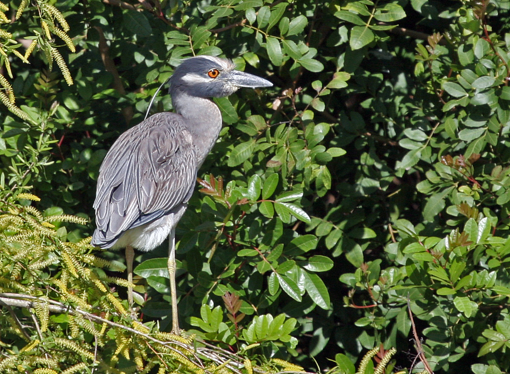 Yellow-crowned Night-heron - Paradise Pond