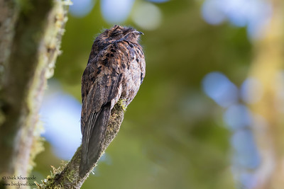 Common Potoo - Mindo, Ecuador