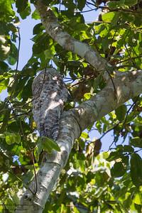 Great Potoo - Record  - Amazon, Ecuador