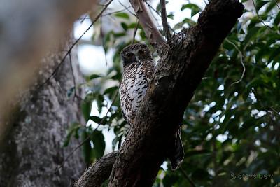 Powerful Owl  - Juvenile