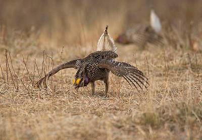 Sharp tailed grouse - Male