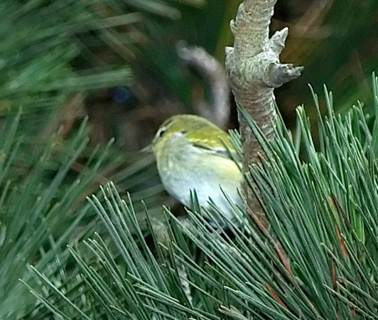 Tennessee Warbler (uncooperative)