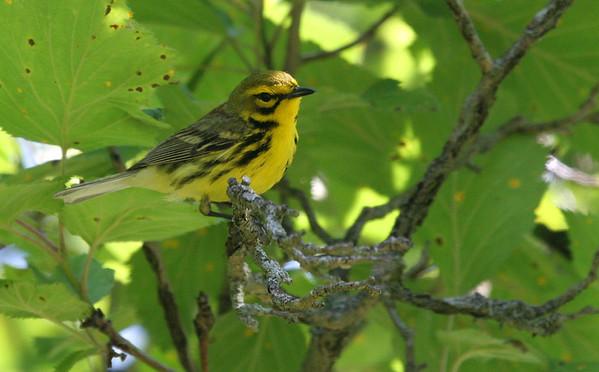 Prairie Warbler - Waterfall Glen