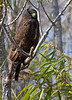 "Short-tailed Hawk, Dark Morph<br /> ""Buteo brachyurus"""