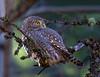 Northern Pygmy-Owl / Glaucidium gnoma