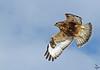 Rough-legged Hawk taking off<br /> Buteo lagopus