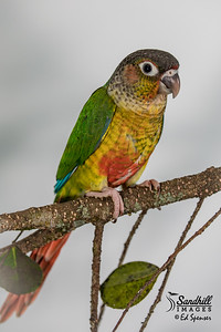 "Green-cheeked parakeet, ""pineapple"" color morph, captive"