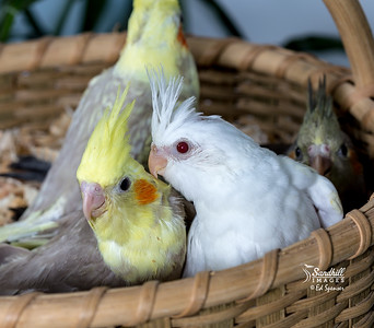 Cockatiel nestlings, mixed colors (captive)