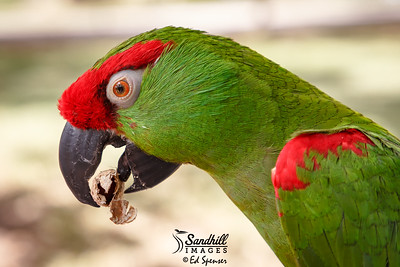 Very rare thick-billed parrot (captive)