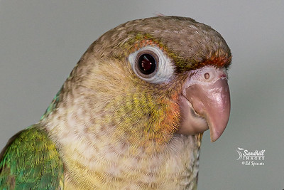 Green cheeked parakeet fledgling, captive raised