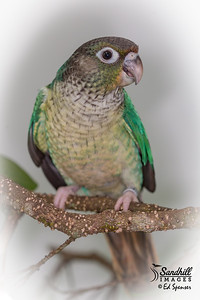 Green-cheeked parakeet, captive, with some silly special effects