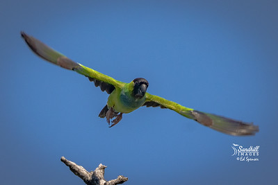 Wild Nanday parakeet , a naturalized non-native psittacine species found in Florida