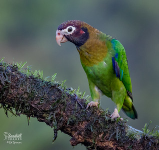 Brown-hooded parrot. This species is almost never seen in captivity- zoos or otherwise