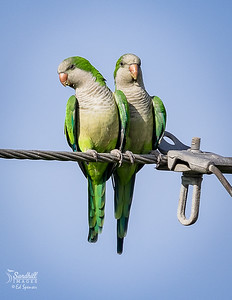 Local wild quaker parrots, an introduced species in Florida