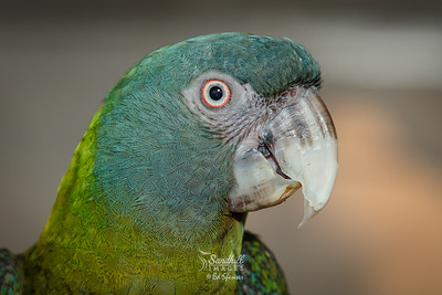 Rare blue-headed macaw (captive)