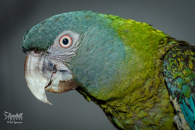 Very rare Blue-headed macaw (captive)