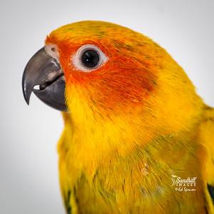 Sun parakeet, captive