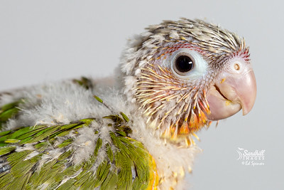 "Green cheeked parakeet, ""Pineapple"" morph, captive raised nestling"