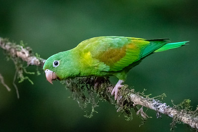 Wild Orange chinned parakeet in Costa Rica