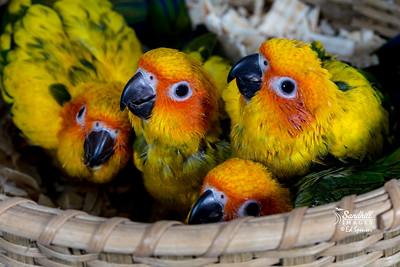 Sun parakeet nestlings, (captive)