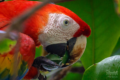 Scarlet macaw, wild, in Costa Rica