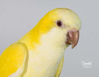Quaker parrot, yellow or lutino morph, captive raised