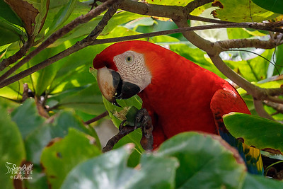 Wild scarlet macaw feeding in a tree overlooking the Pacific.