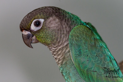 Green-cheeked parakeet, captive